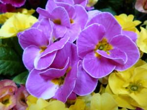 バラ咲ジュリアン紫