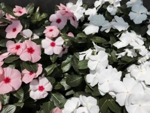 初夏らしいさわやかな花です