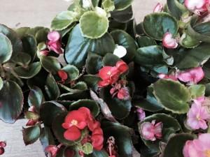 今月のお花ガーベラ