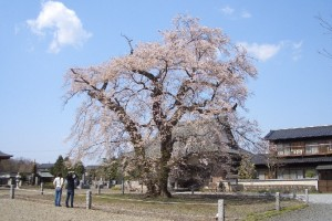 坂東市辺田・歓喜寺 江戸彼岸桜です