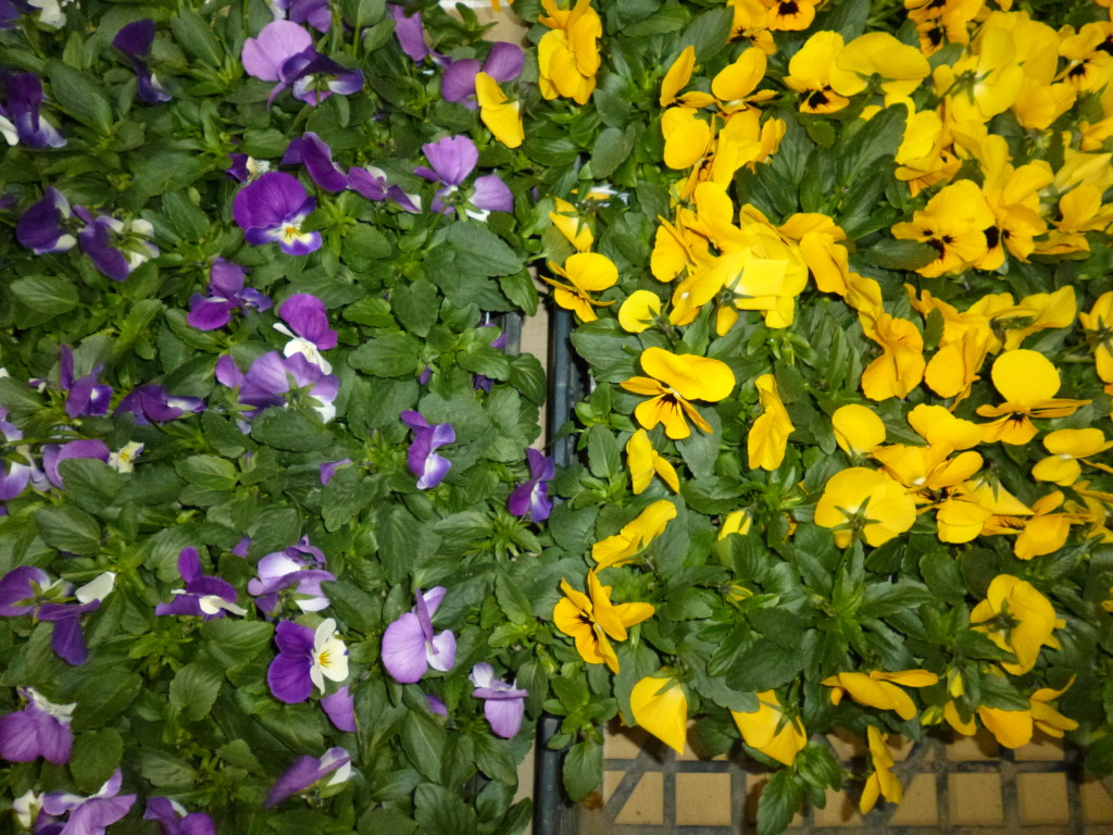 本当はもっとかわいい花です