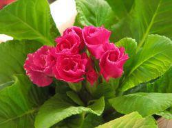 小さなバラというイメージ 優しく可愛らしいですよ